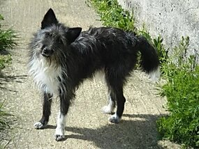 aldo X griffon petit chien de 8 kilos a adopter