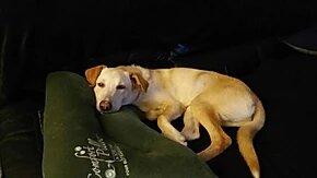 lucas, chien beige et nez rose alongé sur un canapé